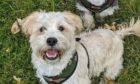 Tayside Dogs has set up a dog foodbank in Dundee.  Cross miniature schnauzer Shih Tzu Barney.