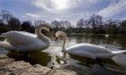 Mute swans seen in St James's Park in London.