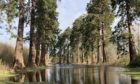 Flooded redwoods at Inchture in February 2021