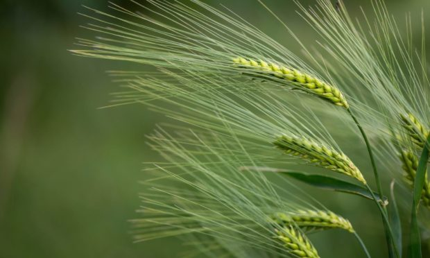 INNOVATION: The International Barley Hub will develop new varieties of the crop and growing systems that can cope with future climate change.