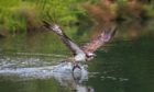 The osprey: returning soon to a sky near you.