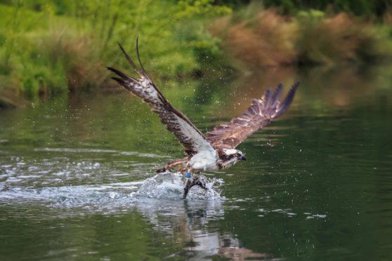 The osprey: returning soon to a sky near you.