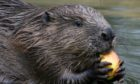 It is unlawful to kill or trap beavers without a licence from NatureScot.