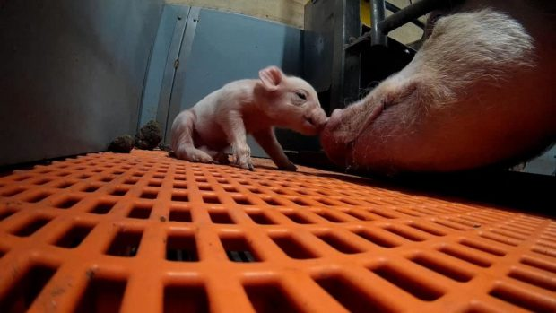 Shocking footage of the treatment of pigs was filmed by Animal Equality UK.