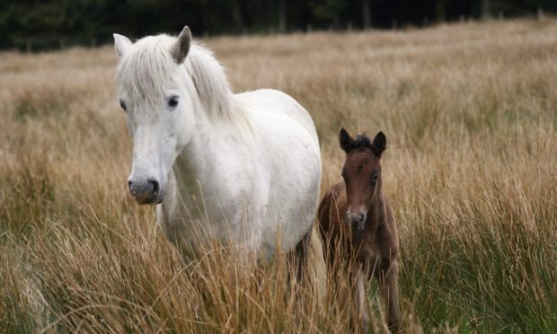 FALLING NUMBERS: Eriskay ponies are on the Rare Breeds Survival Trust watchlist.