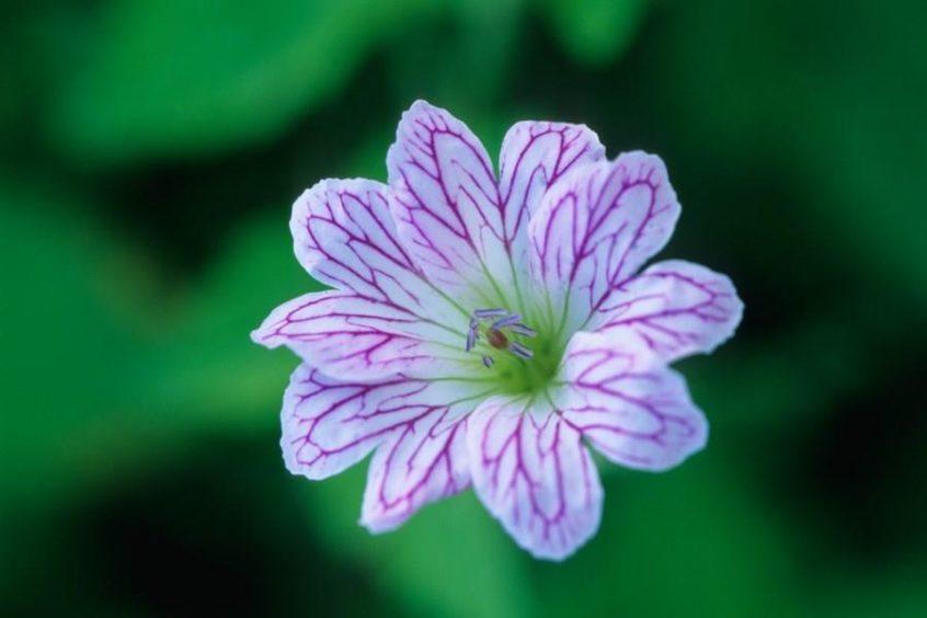 Geranium Versicolor.