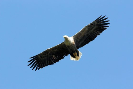 Farm leaders want action to prevent sea eagles attacking and killing livestock.