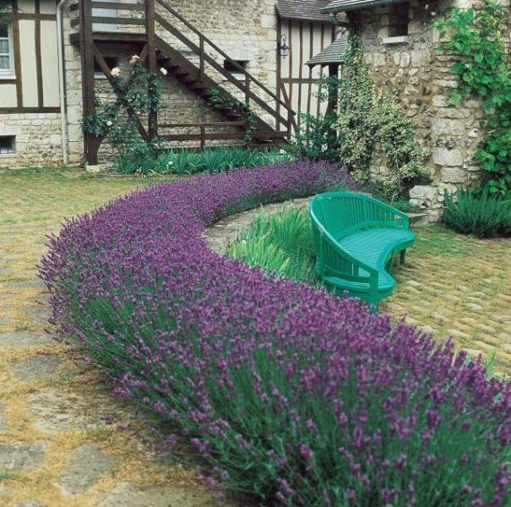 Dwarf Lavender Munstead.
