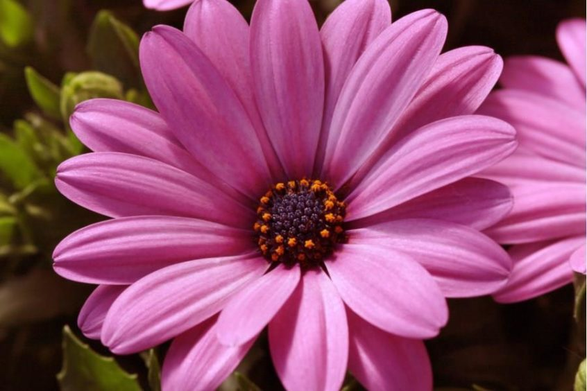 Pink African Daisy.