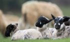 SPRING TO LIFE: The sheep sector is urging dog owners to act responsibly when visiting the countryside.