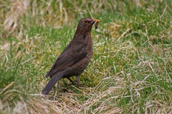 Blackbirds remain the most commonly seen species of bird on Scottish farms
