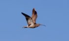 SUMMER VISITOR: Curlews are a welcome sight around Armadale Farm at this time of year.
