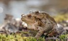 Common toads mating.