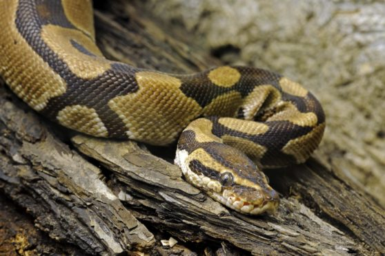 Residents are on the look out for the missing Ball Python that escaped its tank.