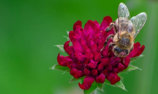 Bumble Bee on Dark Red Summer Flower; Shutterstock ID 1708376221; Purchase Order: -