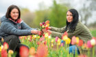 Gayle and Kym McWilliam picking some tulips frpm the flower field near Laurencekirk.