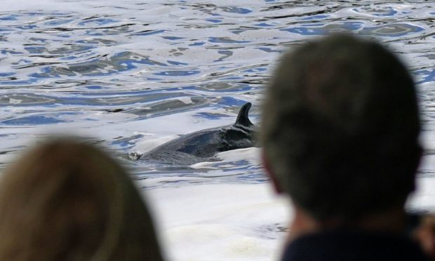 A Minke whale, between three to four metres long, which was freed on Sunday after it became stuck on Richmond lock's boat rollers, but has remained in the Thames, and is now near Teddington Lock. Picture date: Monday May 10, 2021. PA Photo. See PA story ANIMALS Whale. Photo credit should read: Yui Mok/PA Wire