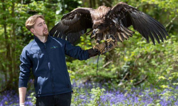 Falconer Charlie Rolle holds Chief, a 10-month-old white-tailed sea eagle, which is the UK's largest bird of prey and a species extinct around 200 years ago, at his new home at the nature and tourist destination, Robin Hill Park, near Newport on the Isle Of Wight. Picture date: Wednesday May 12, 2021. PA Photo. The youngster, who weighs 9.5lb and has a 7.5ft wingspan, has been brought from the Scottish Eagle Centre to live at the park. Chief will be looked after by 22-year-old Charlie Rolle, one of the island's youngest qualified falconers, who will train the eagle to fly and express natural behaviours. See PA story ANIMALS Eagle. Photo credit should read: Andrew Matthews/PA Wire
