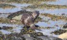 Otter at Loch Linnhe