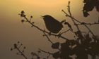 Winter Wren  adult, singing, silhouetted at dawn