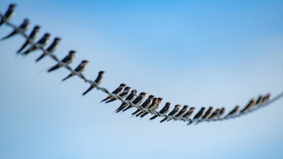A row of swallows perched on a wire
