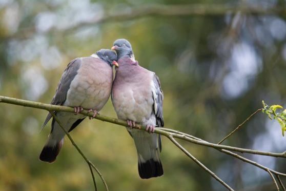 A pair of wood pigeons.