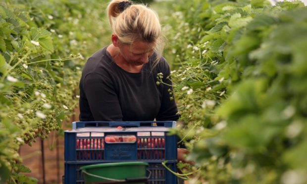 MSPs have warned of another disrupted fruit picking season