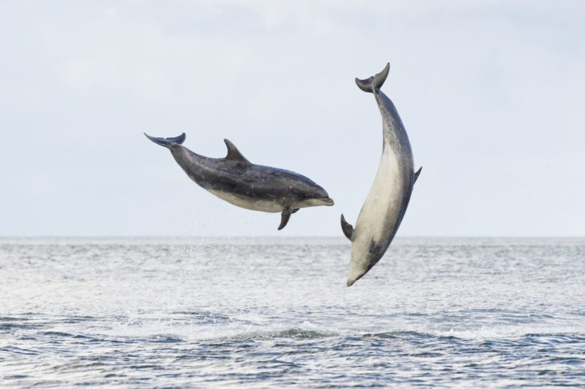 Two bottlenose dolphins jumping out of the water into the air