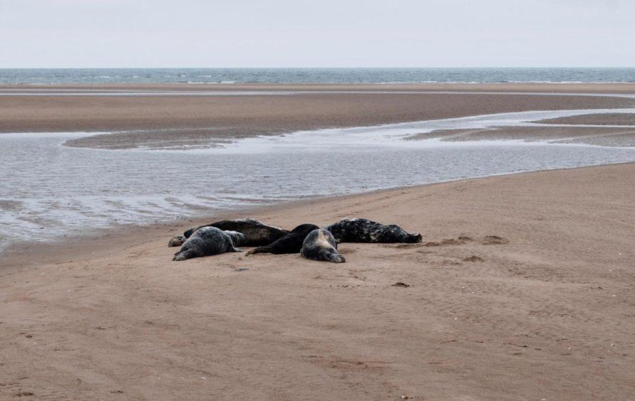 Seals huddled together basking on the beach