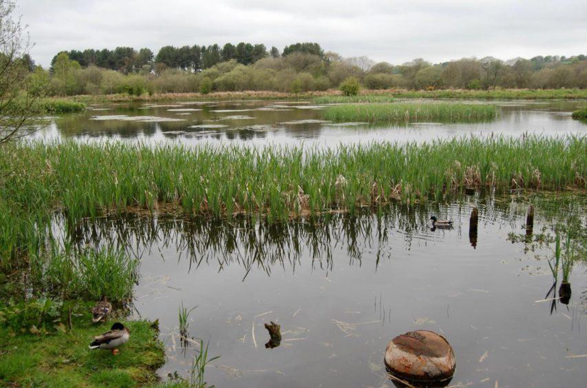 Ducks and plenty of green vegetation inhabiting Morton lochs