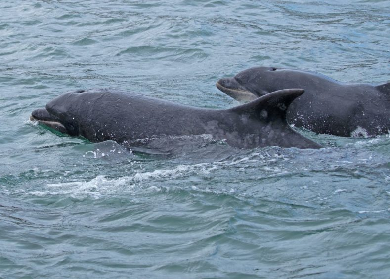 Two bottlenose dolphins in the sea