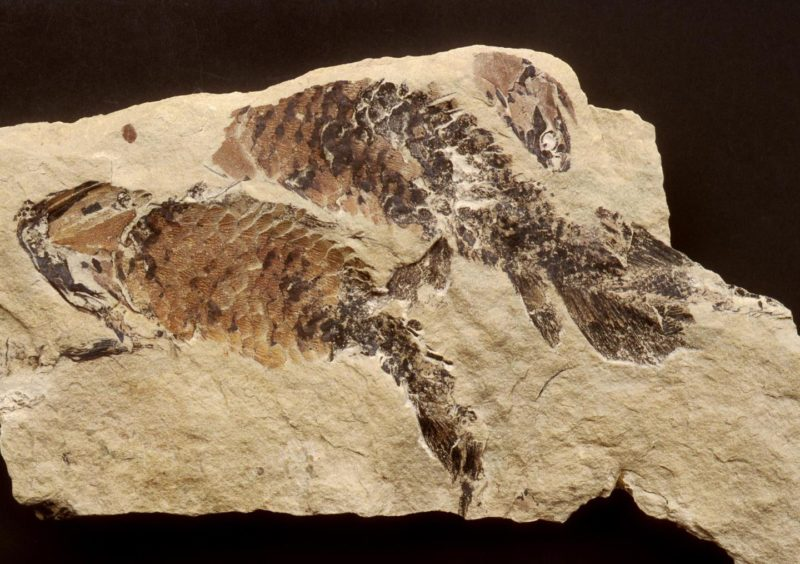 Fossil of the lobe-finned Upper Devonian fish