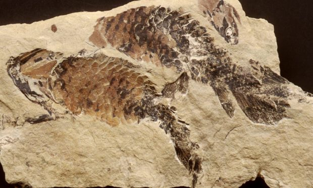 Fossil of The lobe-finned Upper Devonian fish Holoptychius from Dura Den