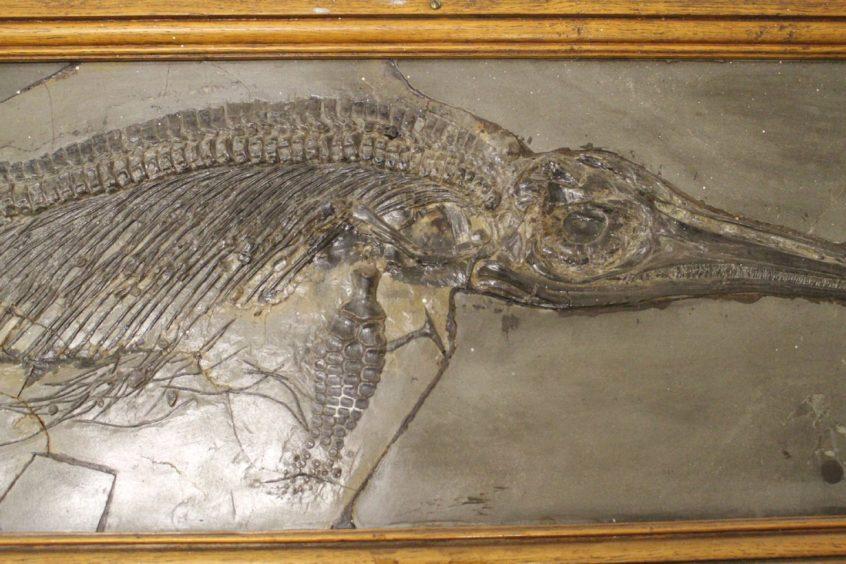 fossil of Jurassic ichthyosaur Stenopterygius quadriscissus