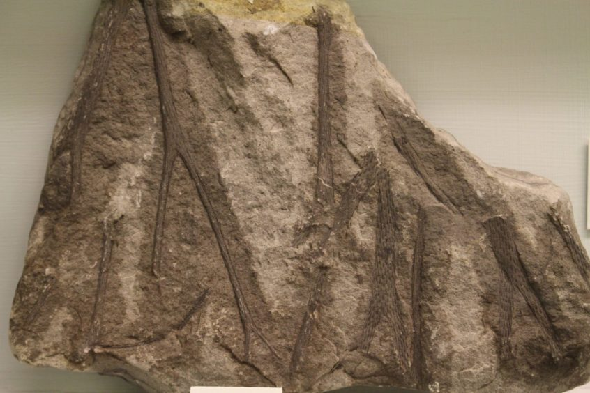 Fragments of a Carboniferous lycopod