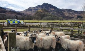 Sheep in Angus after a sheep worrying incident