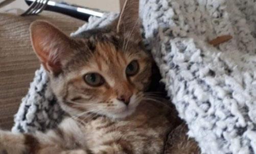 Missing cat Honey