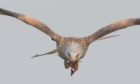 Red kite carrying food at Argaty