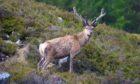 Red deer. Glen Ey