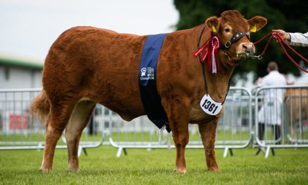 Grahams Precious, a two-year-old Limousin heifer from Robert Graham at Bridge of Allan was the overall continental champion at Ingliston.