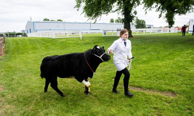 SHOWCASE: A handler presents her stock at the eerily quiet Royal Highland Show this year.  Picture by Wullie Marr.