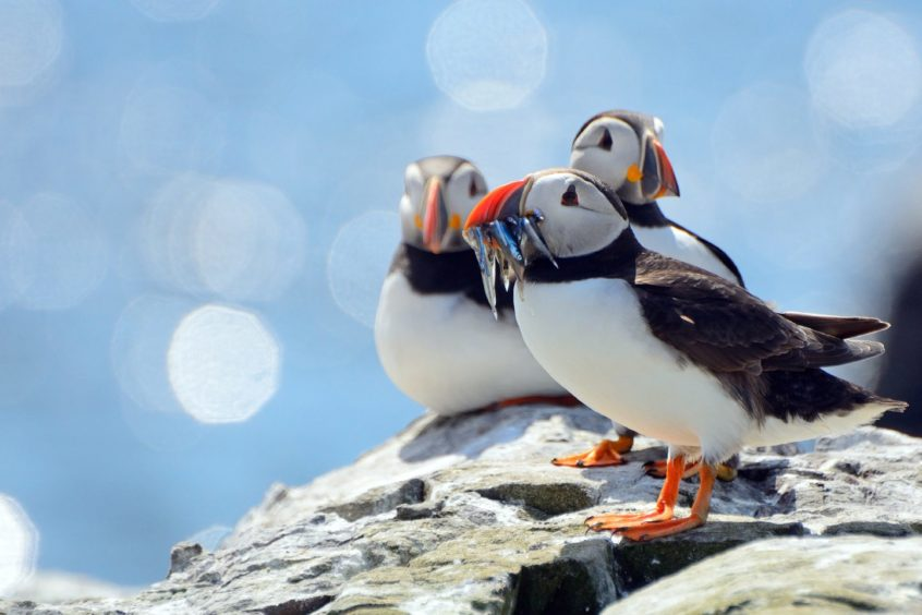 Three puffins on a rock, one with fish in the beak