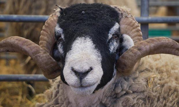 A black headed sheep at the Royal Highland Show.