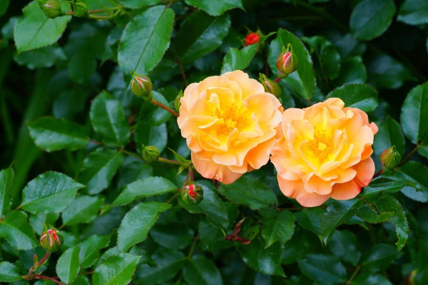 Roses can easily be exhibited at gardening shows.