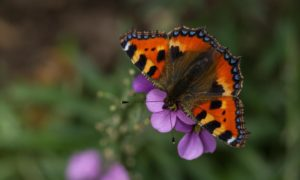 Even the common small tortoiseshells are absent this year.