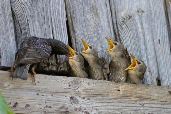 Feeding time for a family of starlings.
