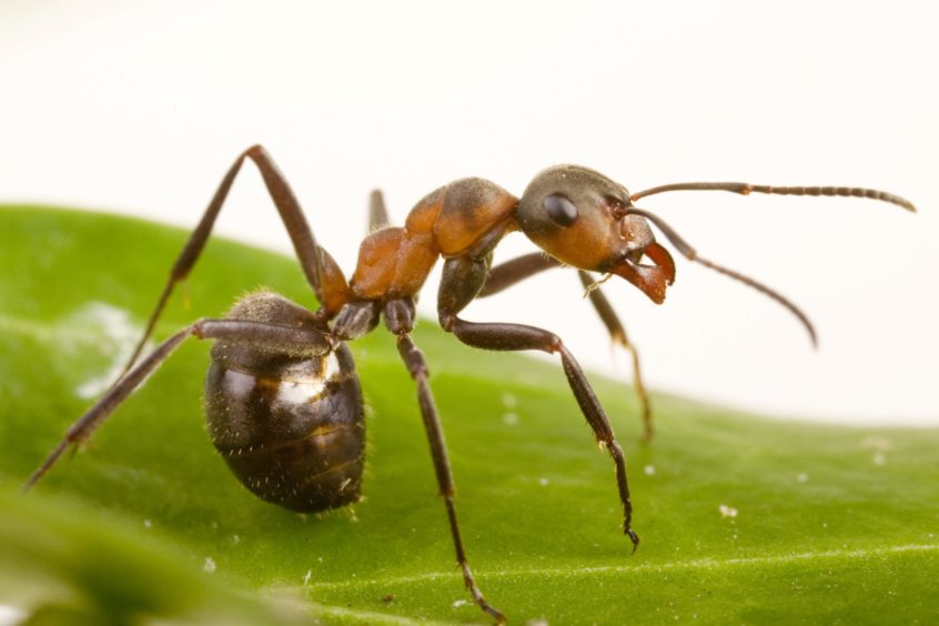 A wood ant on a leaf