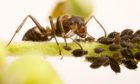 A wood ant on a plant stem next to Black Bean aphids