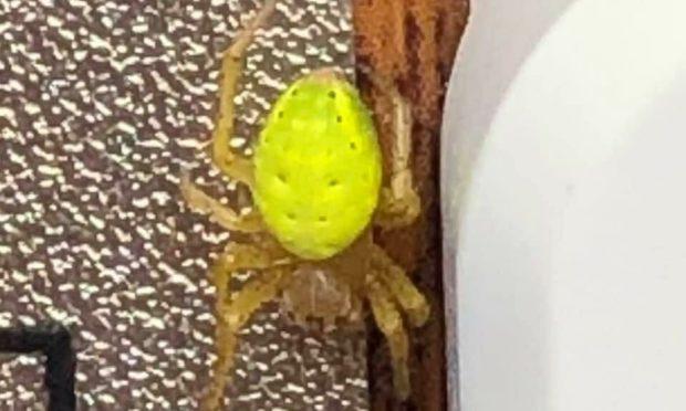 Green spider found in Dundee