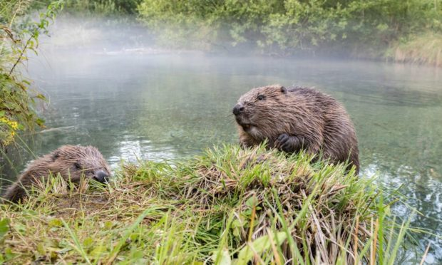 Campaigners say Beavers should be protected